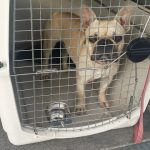 French Bulldog Pet Shipping Safe Reliable