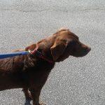 Labrador Retriever Puppy Shipping
