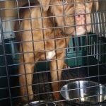 Mammoth Bulldog Pet Shipping