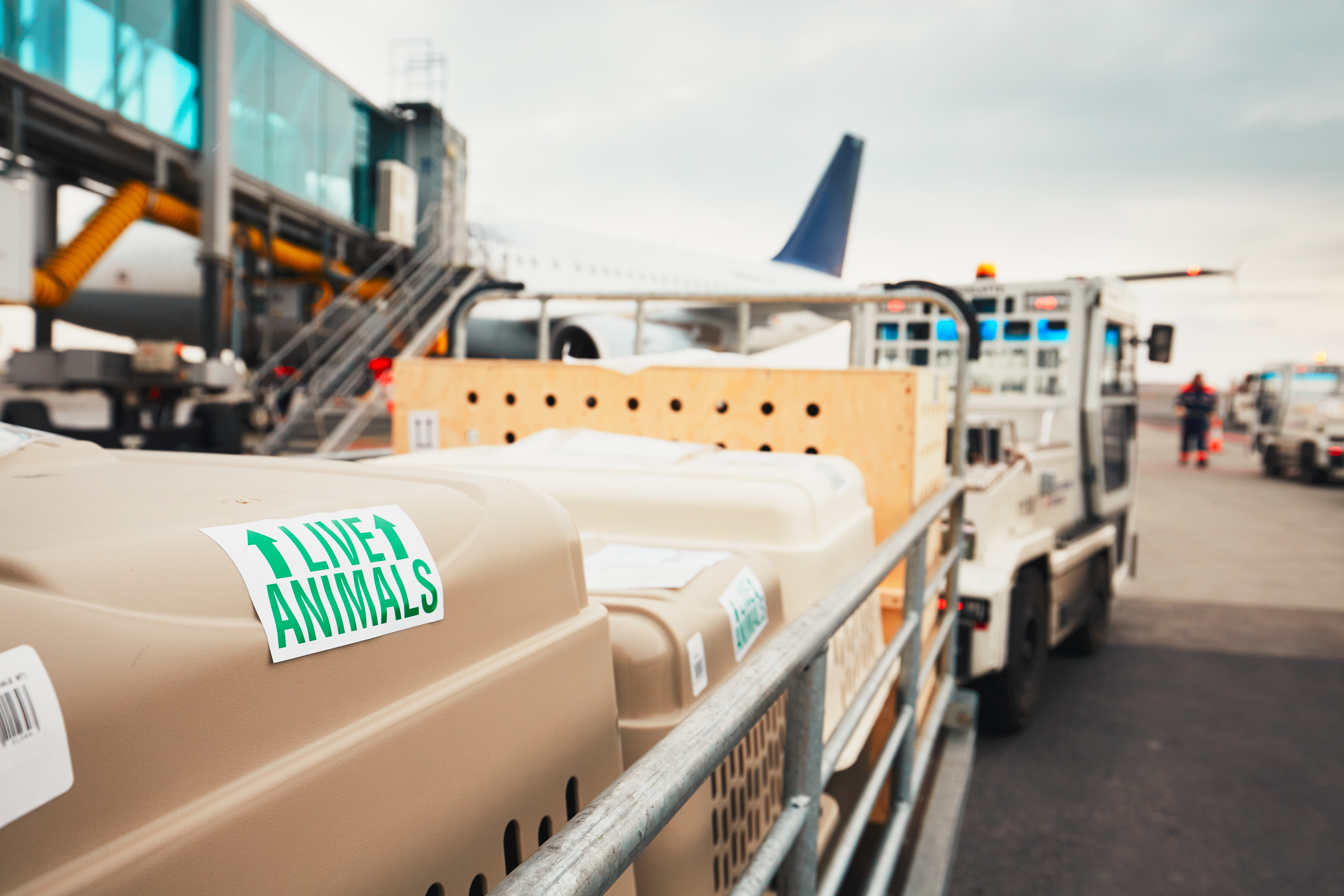 Pet Shipping Ground Vs  Air Cargo - B's Pet Delivery