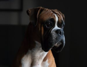 boxer pet shipping